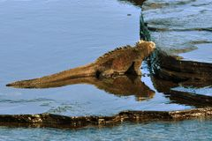 Marine Iguana Grazing Stock Photography