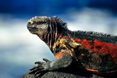Marine Iguana. On Hood Island, Galapagos royalty free stock photos
