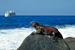 Marine Iguana. On Hood Island, Galapagos stock photos