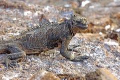 Marine Iguana, Ilhas Galápagos, Equador fotos de stock