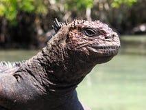 Marine Iguana Isla Santa Cruz Galapagos öar Arkivfoton