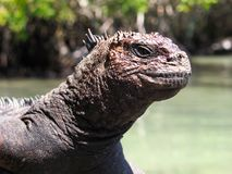 Marine Iguana Isla Santa Cruz Galapagos Islands Stock Photos