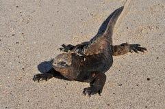 Marine iguana on the island of San Cristobal, Galapagos, Ecuador stock photo