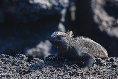 A Marine Iguana on lava rock Stock Image