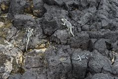Marine Iguana on lava rocks. Santa Cruz Island, Galapagos Islands, Ecuador royalty free stock image