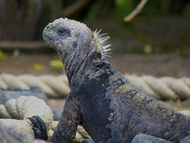 Marine Iguana looking from the side Stock Photography