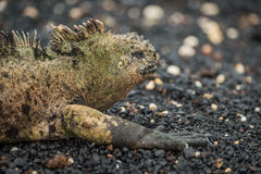 Marine iguana lying on black shingle beach Royalty Free Stock Photography