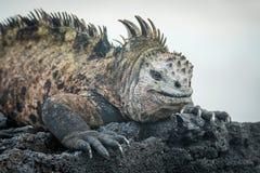 Marine iguana lying on black volcanic rocks Stock Image