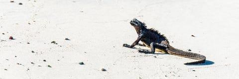 Marine iguana lying on white sandy beach Royalty Free Stock Images