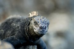 Marine Iguana. In Galapagos - Ecuador stock photos