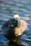 Marine iguana munches Stock Images