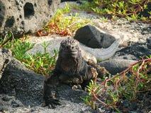 Marine Iguana na areia e nas rochas vulcânicas imagem de stock