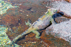 Marine Iguana och vatten Royaltyfria Bilder