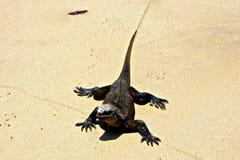 Marine Iguana op Strand, de Eilanden van de Galapagos, Ecuador Stock Afbeelding