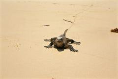 Marine Iguana på stranden, Galapagos öar, Ecuador Arkivfoto
