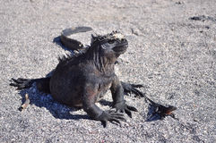 Marine iguana. And passing by gecko Stock Images