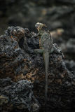 Marine iguana perched on black volcanic rocks Royalty Free Stock Image