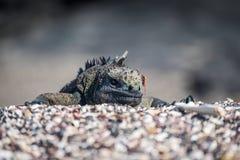 Marine iguana poking head over shingle ridge Royalty Free Stock Images