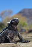 Marine Iguana pose. A marine iguana posing on the galapagos Islands royalty free stock photos