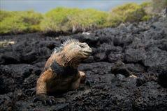 The marine  iguana poses. / The marine  iguana poses on the black stiffened lava Royalty Free Stock Photo