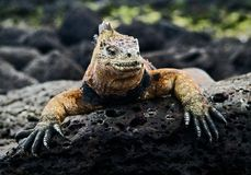 The marine  iguana poses. 2 Stock Image