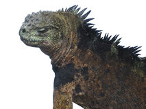 Marine Iguana Profile Royalty Free Stock Photography