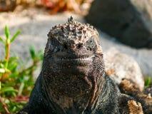 Marine Iguana que olha a câmera imagens de stock