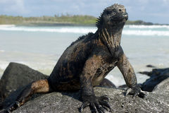 Marine iguana. Relaxing on the rock. Tortuga Bay beach at Galapagos island of Santa Cruz, Ecuador, South America Stock Photography