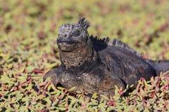 Marine Iguana Resting en la vegetación costera Foto de archivo