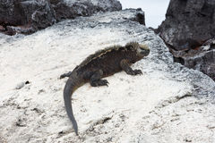Marine iguana resting on a rock, white from guano. Royalty Free Stock Images
