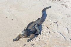 Marine Iguana Resting in the sand. Stock Image