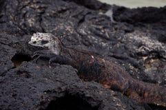 Marine iguana. Resting on the seashore Royalty Free Stock Photos