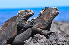 Marine Iguana on a rock. Marine Iguana on the Galapagos Islands Ecuador royalty free stock photography