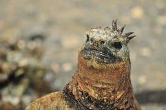 Marine Iguana close up stock photos