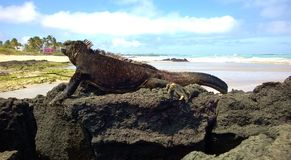 Marine iguana on the rock Stock Photos