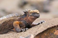 Marine iguana on Santiago Island, Galapagos National Park, Ecuad Royalty Free Stock Image