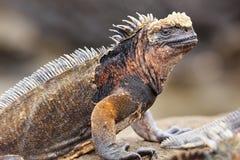 Marine iguana on Santiago Island, Galapagos National Park, Ecuad Stock Image