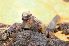 Marine iguana on Santiago Island, Galapagos National Park, Ecuad Stock Photos