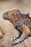 Marine iguana on Santiago Island, Galapagos National Park, Ecuad Royalty Free Stock Photography