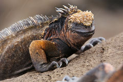 Marine iguana on Santiago Island, Galapagos National Park, Ecuador. Marine iguana on Santiago Island in Galapagos National Park, Ecuador. Marine iguana is found stock photos