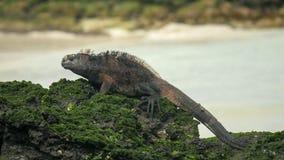 Marine iguana on the shore of san cristobal island in the galapagos royalty free stock image