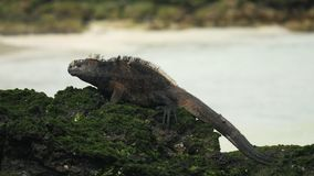 Marine iguana on the shore of san cristobal island in the galapagos. A marine iguana on the shore of san cristobal island in the galapagos islands stock video footage