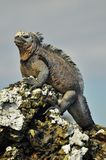 A marine Iguana. Is sitting on a rock on the Galapagos Islands Ecuador stock image