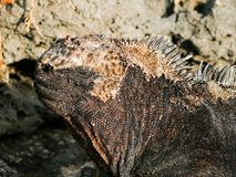 Head of a marine iguana. A marine iguana sitting on the rocks at sunset stock image