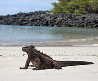 The marine iguana sitting on the white sand. The Galapagos Islands. Pacific Ocean. Ecuador. Stock Photo