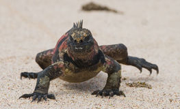 The marine iguana sitting on the white sand. The Galapagos Islands. Pacific Ocean. Ecuador. Royalty Free Stock Photo