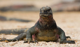 The marine iguana sitting on the white sand. The Galapagos Islands. Pacific Ocean. Ecuador. Stock Image