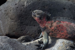 Marine Iguana Sleep Royalty Free Stock Photography