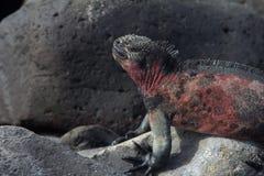 Marine Iguana Sleep. A marine iguana with its eyes shut Royalty Free Stock Photography