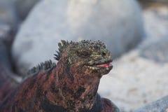 Marine Iguana Smile. A marine iguana looks like it's smiling Stock Image